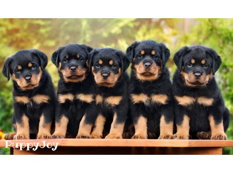 Rottweiler Puppies For Sale In Oregon Or Purebred Rottweilers