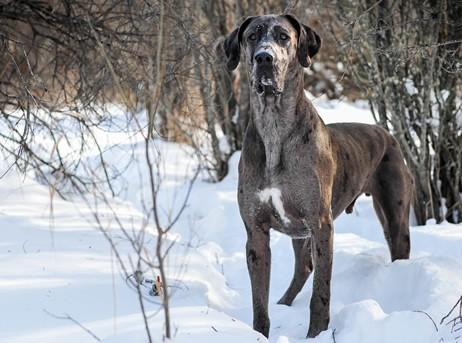 Great Dane Puppies For Sale In Colorado Co Purebred Great Danes