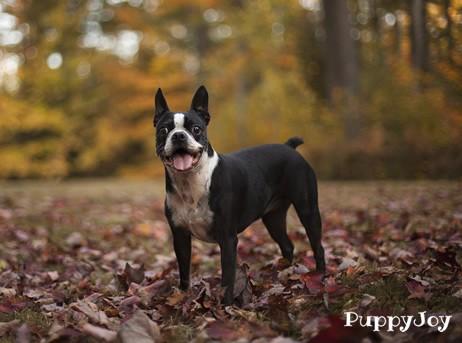 Boston Terrier Puppies For Sale In Montana Mt Purebred Boston