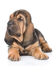 Bloodhound Puppies For Sale In New Mexico NM - Purebred