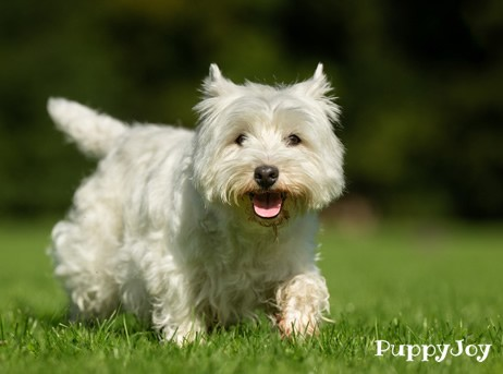 West Highland White Terrier (Westie) Puppies For Sale In
