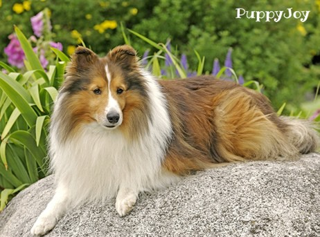 Shetland Sheepdog Sheltie Puppies For Sale In Nebraska Ne