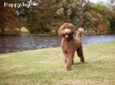 Labradoodle Puppies For Sale In Ohio Oh Purebred Labradoodles