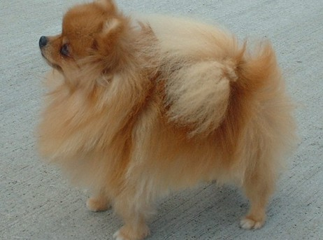 Pomeranian Puppies For In Oregon Or Purebred