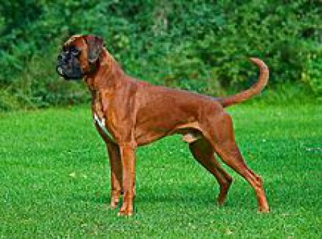 Boxer Puppies For Sale In Indiana In Purebred Boxers Puppy Joy