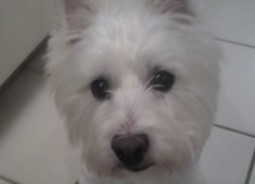 West Highland White Terrier (Westie) Puppies For Sale In Connecticut